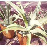 Potted Agaves